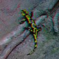 Lurchie, der Feuersalamander liebt feuchtere Biotope