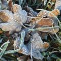 Raureif an gefallenen Blättern