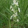 Grünliche Waldhyazinthe oder Berg-Kuckucksblume  - Foto Ingo P.