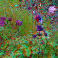 Farbenfrohe Akelei - Foto P. Welker