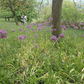 Allium (Lauch) - Foto I. Pedal