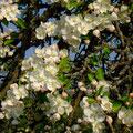 Noch ein Apfelblüten-Baum