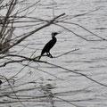 Kormoran am Silbersee - Foto von Ingo P.