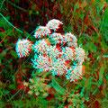Wiesenbärenklau