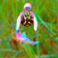 Bienenragwurz