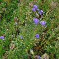Blaue Konblume und abgeblühter  Bienenfreund  (pewe)