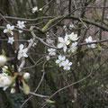 Erste Blüten am Weißdorn - Foto von Ingo P.