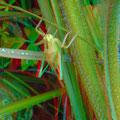 Südliche Eichenschrecke, Männchen, meint Ingo