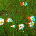 Nur Wucherblumen... - Foto P. Welker