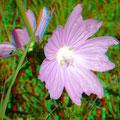 Malvenblüte (c) pewe