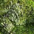 Trichterflechte oder Trompetenflechte (Cladonia fimbriata)