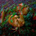 Tigerlilie     (c) pewe