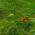 Eine Mohnblüte - verloren im Gerstenfeld