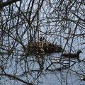 Blässhuhn-Nest im Flachwasserbereich; Blässhühner gehören zur Familie der Rallen © I. P.