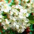 Blüten des Weißdorns (vergrößert)