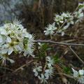Blüten der Kirsch-Pflaume