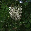 Scheinakazie: Wenn die weiße Robinie wieder blüht...  © P. W.