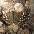 """Ermatteter Schmetterling """"Waldbrettspiel""""  © P. W."""