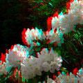Zum Schluss: Rhododendron in meinem Garten