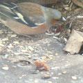 Buchfink-Hähnchen