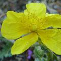 Sonnenröschen (Helianthemum)