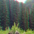 Ein ganzer Wald Serbische Fichten     (c) pewe