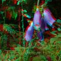 Letzte Blüten des Fingerhuts