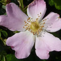 Blüte der Heckenrose