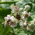 Biene an einer gemeinen Brombeere (Rubus fruticosus)