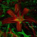 Feuerlilie     (c) pewe