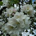 Zarte Blüten...