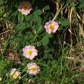 Blüten der Hecken-Rose (Rosa corymbifera)  © P. W.