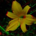 Taglilie     (c) pewe