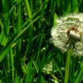 Puste...     Die Schirmchen sorgen für die Fernverbreitung der Samen.