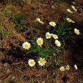 Wuchernd und doch selten geworden: Margerite oder Wucherblume