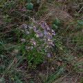 Kalkaster, Gattung der Asteraceae, Foto pewe
