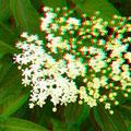 Hollunderblüten? - Foto P. Welker