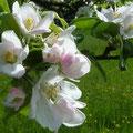 Apfelblüten locken die Bestäuber