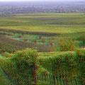Weinberge im Herbstlaub. Im Osten liegt Edenkoben