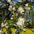 Von Apfelblüten einen Kranz...