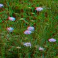 Acker-Witwenblume
