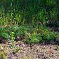 Sandverträgliche Pflanzen - Foto Peter Welker