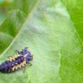 Larve des Marienkäfers liebt Blattläuse
