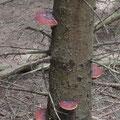 ...Konsolen der Pilze am Baumstamm