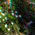 Weiße Sterne: Busch-Windröschen