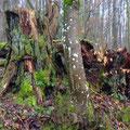Letzte Reste eines einst mächtigen Baums / PeWe