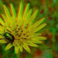 Wiesenbocksbart - Foto P. Welker