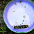 Fressfeind Libellenlarve