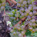 Beeren hängen in Trauben von den Weinreben