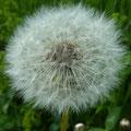 Pusteblume: Die Flugschirmchen mit den Samen des Löwenzahns sind zum Abflug bereit